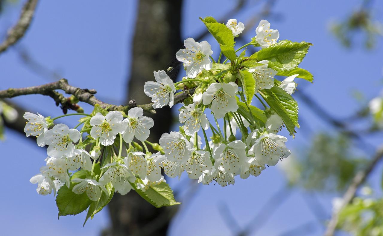 cherry-blossom-467120_1280